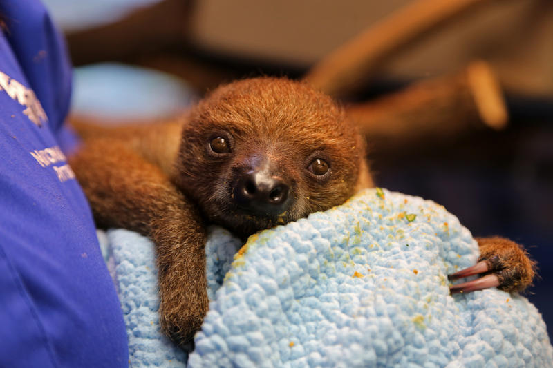 Valentino, the National Aviary's 5-month-old baby sloth, rests in between eating out of handler Cathy Schlott's hand.