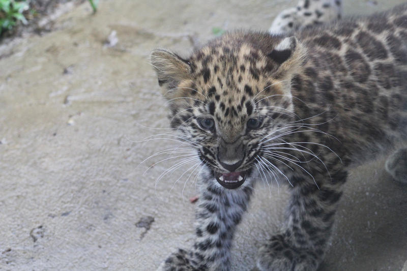 Zoo keepers have been gradually introducing the cub to its enclosure for short periods at a time to help acclimate it.