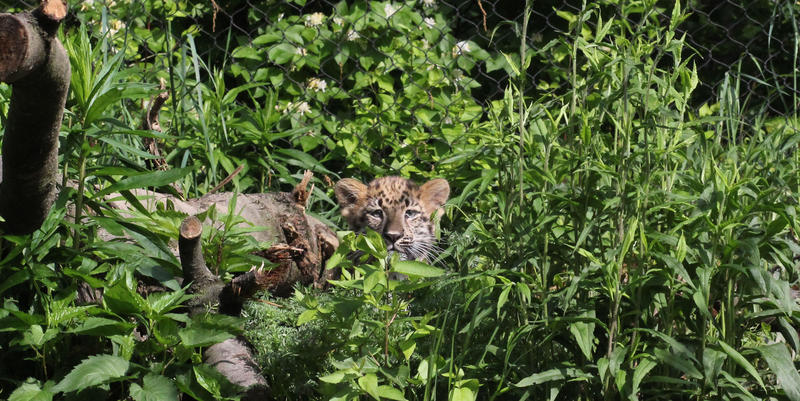 The 3-month-old Amur leopard cub is the first cub born at the Pittsburgh zoo in 16 years.