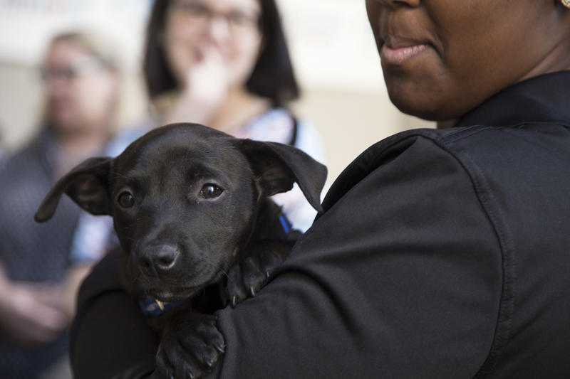 The Western PA Humane Society tap Betty, a lab mix puppy rescued from a Louisiana kill shelter, for free cuddles in its promotional Uber delivery day Thursday, May 19, 2016.