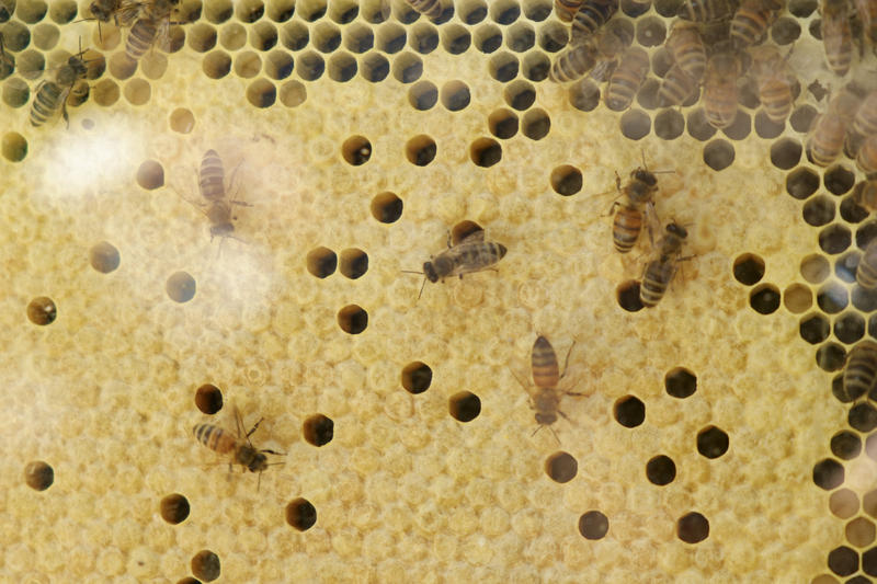 Honeybees swarm inside an observation hive at Bee Wise on Wednesday, June 8, 2016
