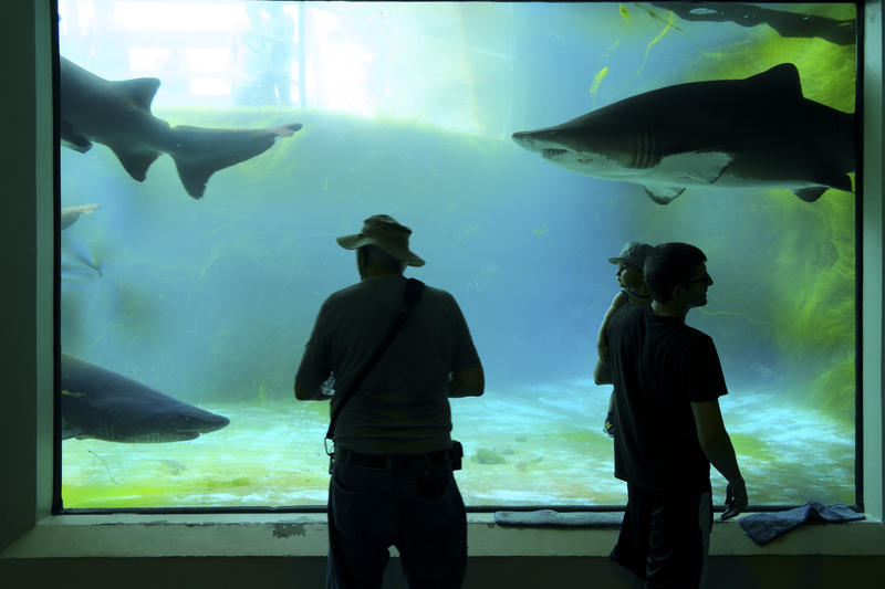 Visitors watch as eager tiger sharks swim past a viewing window at the PPG Aquarium on Wednesday, July 13, 2016. The exhibit's five sand tiger sharks will be moved to Marineland Dolphin Adventure's Neptune Park in St. Augustine, Fla. in August.