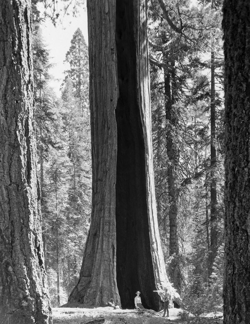Fire ate out the inside of this giant sequoia in Sequoia National Park, California, shown Aug. 7, 1948, yet it bears foliage like a normal tree.