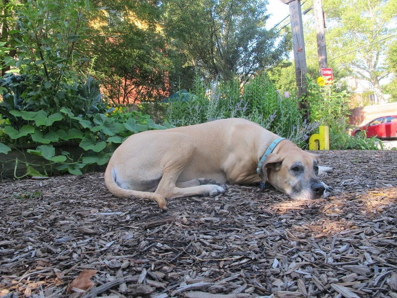 Lulu the dog takes a break in the shade at the community garden.