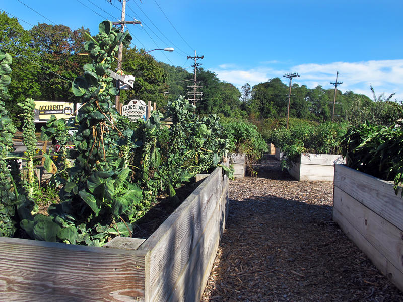 Brussel sprouts reach for the early fall sky in the urban garden created and maintained by the West End Improvement Group in Johnstown.  The vegeatble are free to anyone who visits.