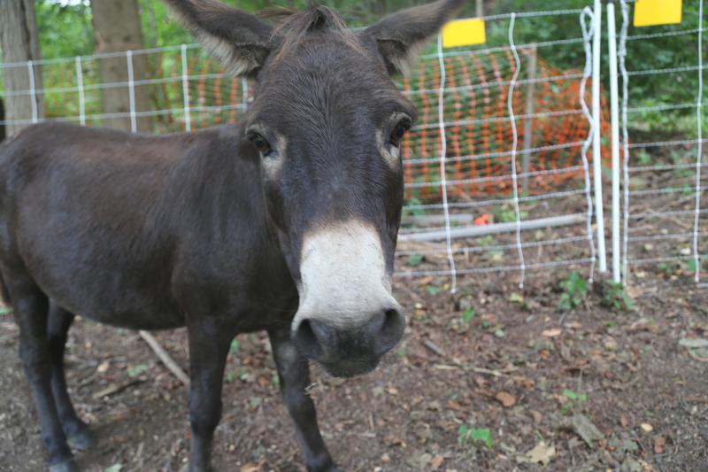 "Hobo, a miniature donkey, is the herd's guardian from coyotes, dogs and any other predator. Steel City Grazers co-owner Doug Placais describes Hobo as ""a bit of a grump."""