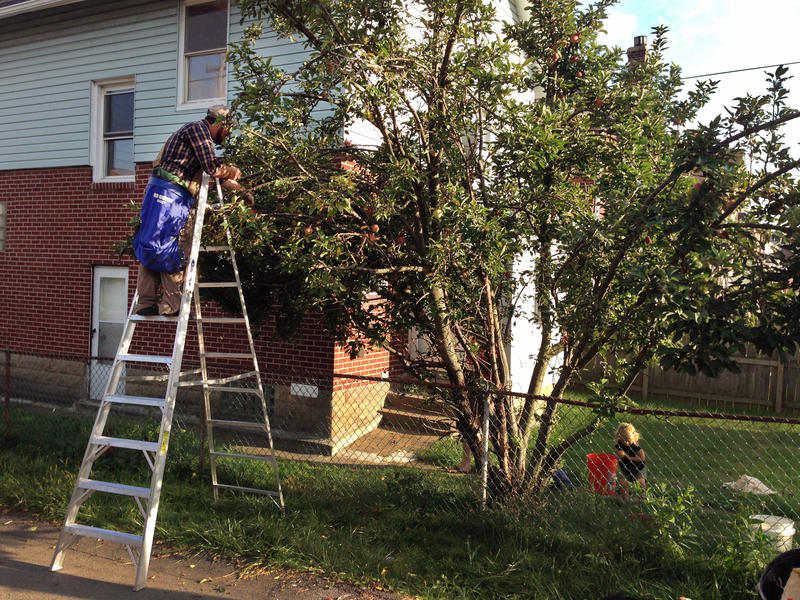 Mike Sturges scales a ladder to pick Red Delicious apples in Morningside on August 25, 2016.