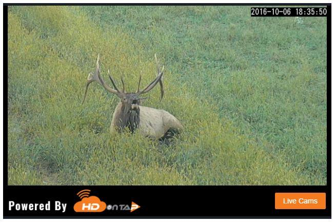 A bull elk offers a bugle, or mating call, on a live stream offered through a state-managed partnership on Thursday, Oct. 6, 2016.