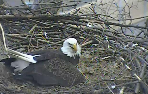 The mother eagle at the Hays nest is seen incubating eggs on March 14, 2016. After high winds knocked down the eagles' nest earlier this month, officials say they've laid another egg.