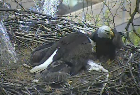 High winds Sunday night toppled a tree in Hays that's home to local bald eagles made popular by a live camera feed.