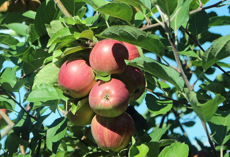 The back-and-forth temperatures could stunt fruit trees in Pennsylvania.