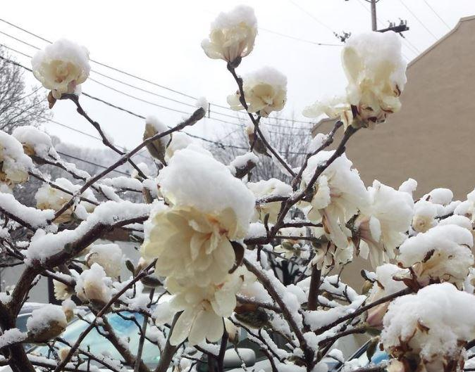 Snow covers early blooms in Pittsburgh after a late-season snowfall last week.