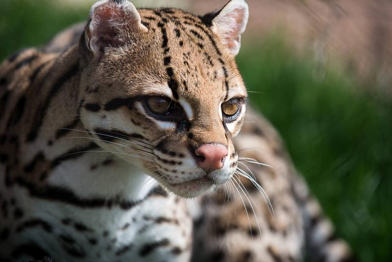 Ocelots are one of five new animals joining the Pittsburgh Zoo and PPG Aquarium's Jungle Odyssey exhibit, which opens this weekend.