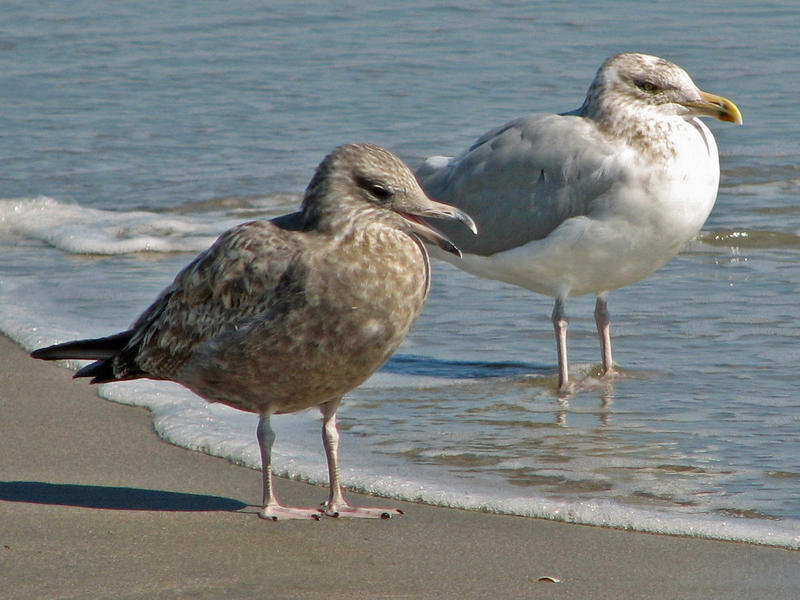 Juvenile and adult Herring Gulls rest along a beach in North Carolina. Recently, they've been seen nesting near the Highland Park Bridge.