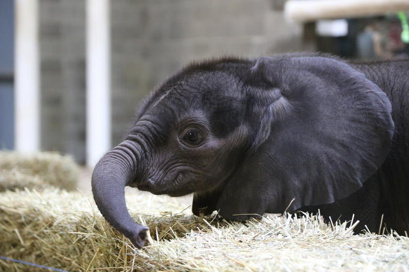 The Pittsburgh Zoo & PPG Aquarium's 5-week-old baby elephant made her debut Friday, July 7, 2017.