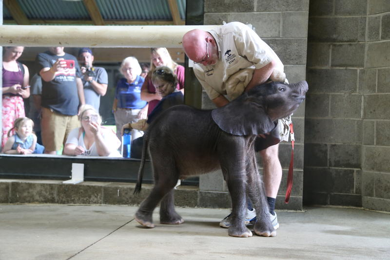 The calf nuzzles against elephant program manager Willie Theison, who works closely with the young elephant.
