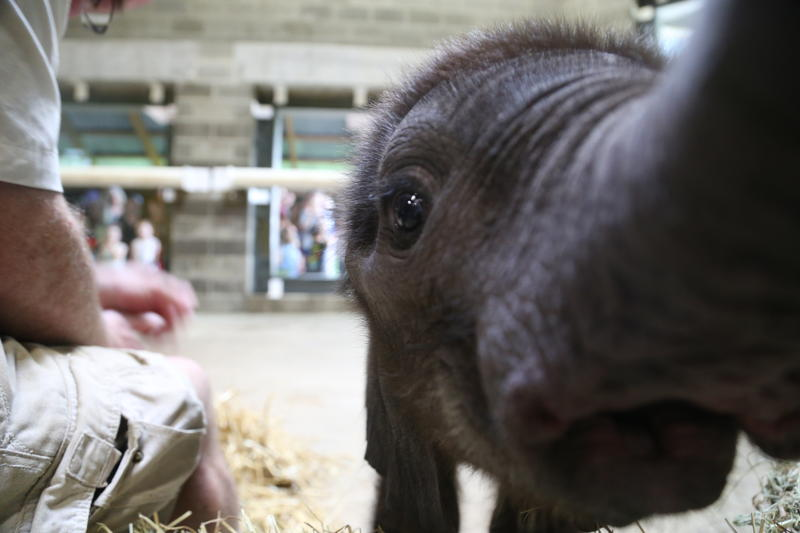 The curious calf touches a camera lens with her trunk while on display during her public debut at the Pittsburgh Zoo and PPG Aquarium in July.
