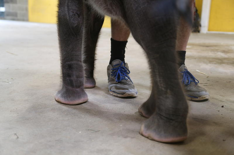 The elephant leans against elephant program manager Willie Theison as he talks to reporters.