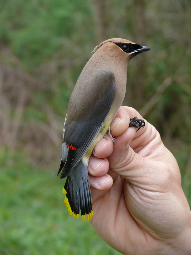 Ceader Waxwings are among the birds seen to be breeding early in southwestern PA.  This one was captured at the Powdermill Nature Preserve in Westmoreland County.