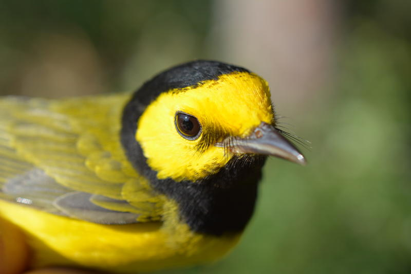 This hooded warbler is among the birds caught at the Powdermill Nature Reserve that are breeding early.