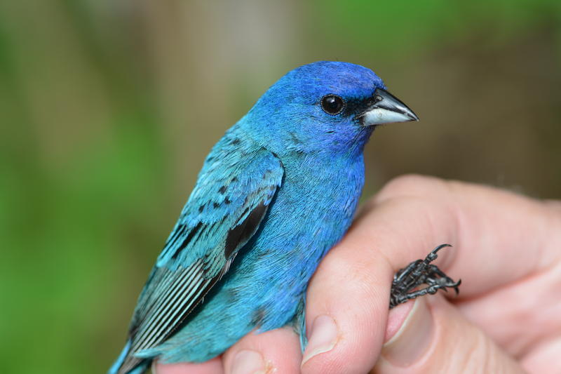 An Indigo Bunting caught in the net at the Powdermill Nature Reserve is held by a researcher. The species is one of several that are breeding early.