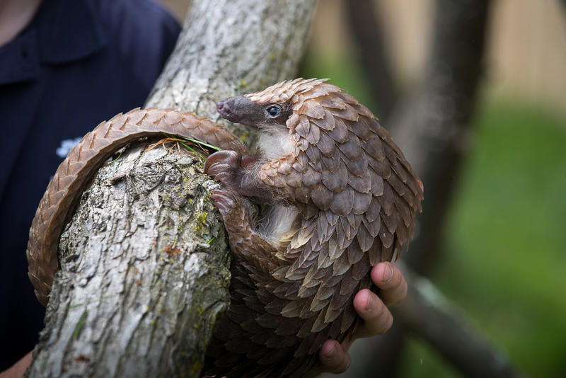 Millions of pangolins are killed each year for their meat and scales.  Some biologists believe the best way to save them is to keep them at local, native conservation facilities, while others believe they should be moved to zoos to be studied.