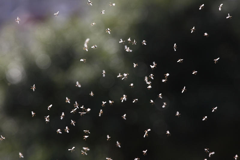 Pictured is a swarm of gnats. Philadelphia police say what look like swams of gnats are actually flying ants.