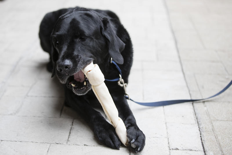 Philadelphia Fire Department arson dog Chance chew a rawhide bone after a ceremony marking his retirement in Philadelphia, Thursday, Oct. 26, 2017.