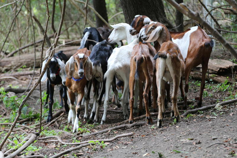 A group of goats grazes as part of Steel City Grazers, another local company that offered goat landscaping services but has since closed.