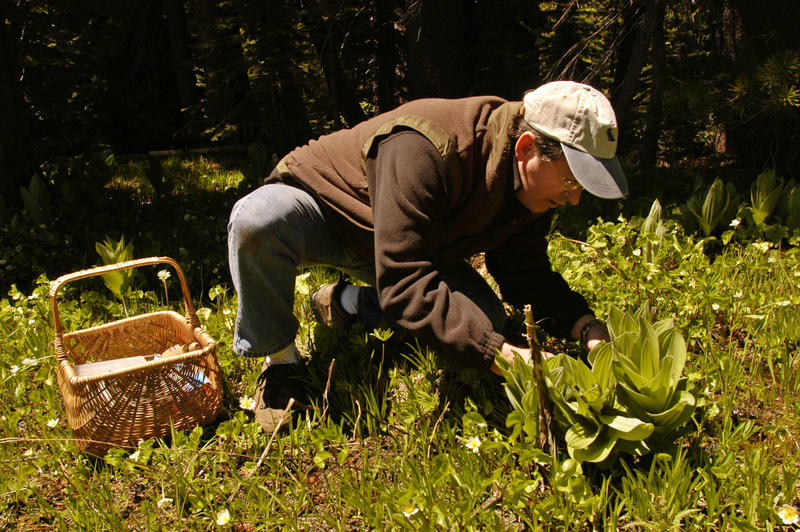 Dennis Desjardin, a professor at San Francisco State University, hunts for mushrooms on June 7, 2005. Locally, amateur mushroom foragers are cashing in on their finds.