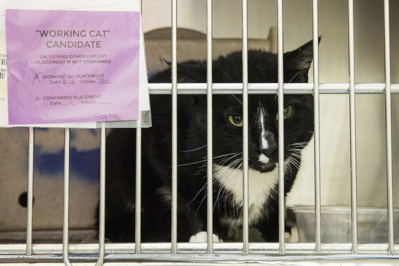 In this Thursday, Oct. 5, 2017 photo, Spike who is up for adoption as a working cat looks out from its cage at the Animal Care and Control Team of Philadelphia.