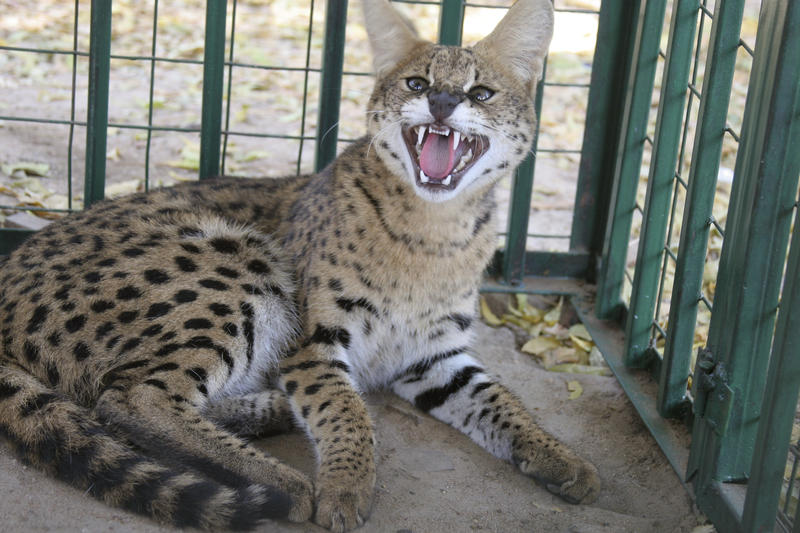Pictured is a Serval al cat held in a cage at the headquarters of the South Sudan Wildlife department in Juba, southern Sudan, Thursday, Oct. 11, 2007.