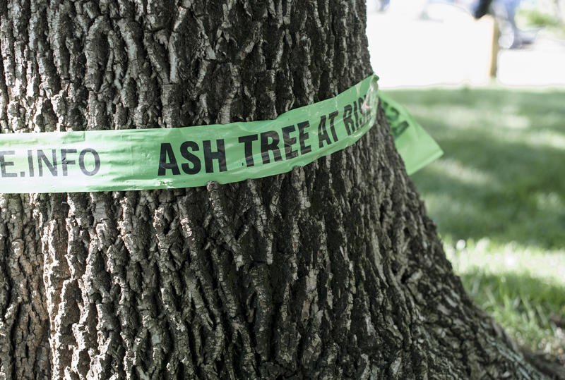 "In this June 29, 2017 photo, a green ribbon reading ""Ash Tree at Risk"" is tied around an ash tree in Omaha, Neb. The DCNR wants to classify the pumpkin ash as ""Pennsylvania Endangered"" due to damage by the invasive emerald ash borer."