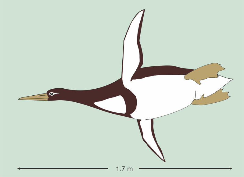 This illustration by Gerald Mayr shows the size of an ancient giant penguin Kumimanu biceae.