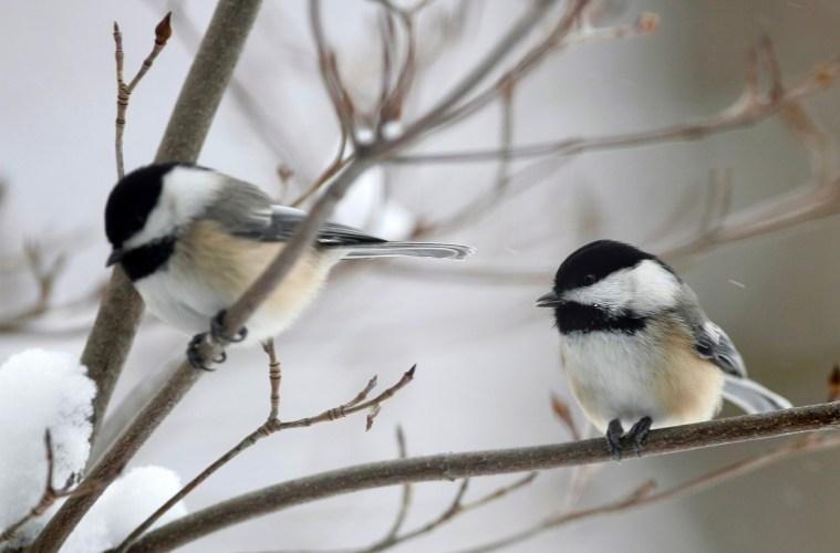 Two black-capped chicadees perch in a shrub.