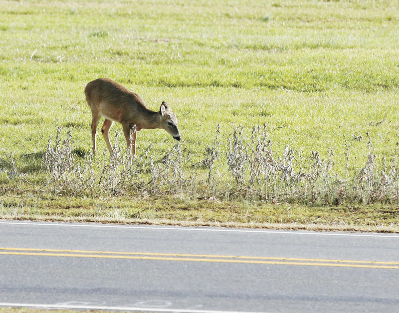 A deer grazes along a highway in Pikeville, N.C. Many Pennsylvanians use deer and other animals found dead on the side of highways for food.