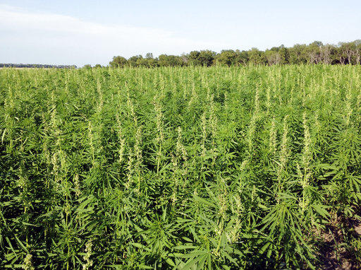 This July 2016 photo provided by the North Dakota Department of Agriculture shows industrial hemp growing in a field in North Dakota's Benson County.