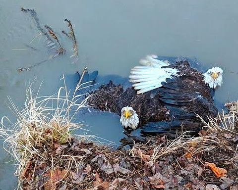 Rebecca Weaver captured this photo of the two eagles with their talons locked while in the Susquehanna River.