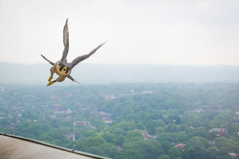 A peregrine falcon flies high alongside its nesting site atop the Cathedral of Learning on the University of Pittsburgh campus.