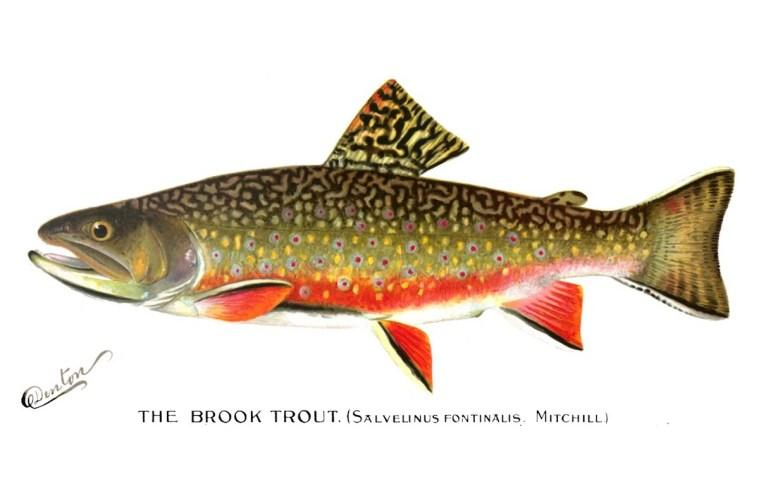 Watercolor of the brook trout by SF Denton from the Annual Report of the Commissioners of Fish, Game, and Forests of the State of New York, 1896. The presence of eastern brook trout is an indicator of a healthy stream system.