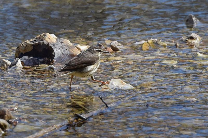 The Louisiana waterthrush's whole life cycle depends on streams. So what happens when fracking comes to its habitat?