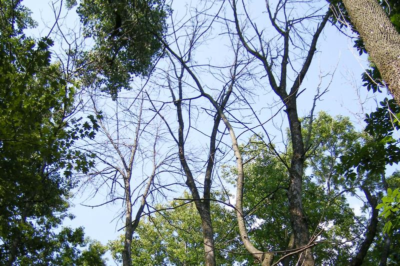 Bare branches in the canopy of these ash trees in northwestern Ohio indicate they have been killed by the emerald ash borer.