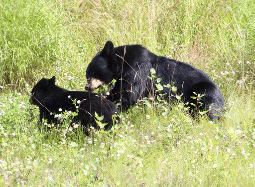 A black bear and cub share a spot of tall grass in Anchorage, Alaska. In Pennsylvania, black bears are losing weight, hair and even dying from mange.