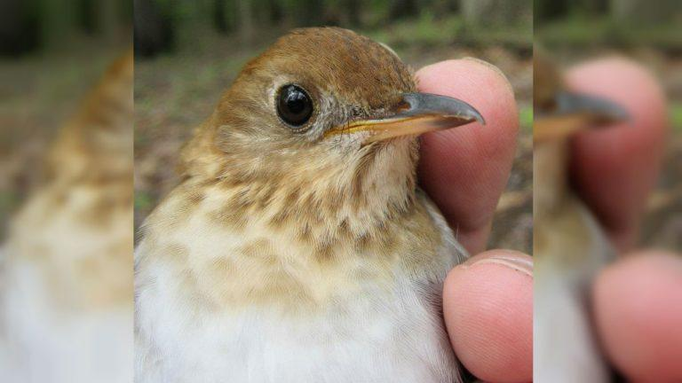 This veery songbird can predict the severity of the coming hurricane season more consistently than meteorologists, according to research published this month by Delaware State University professor Christopher Heckscher.