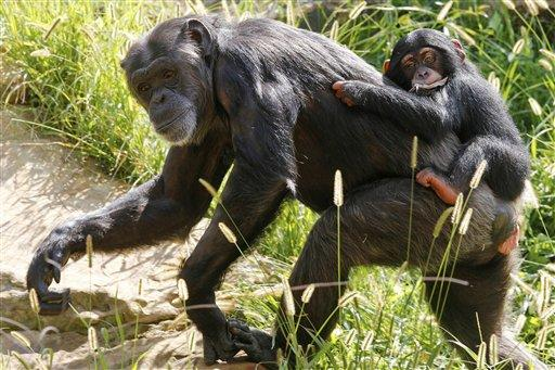 Chimpanzee Ruben takes a ride on the back of his surrogate mother, Kito, at the Oklahoma City Zoo.