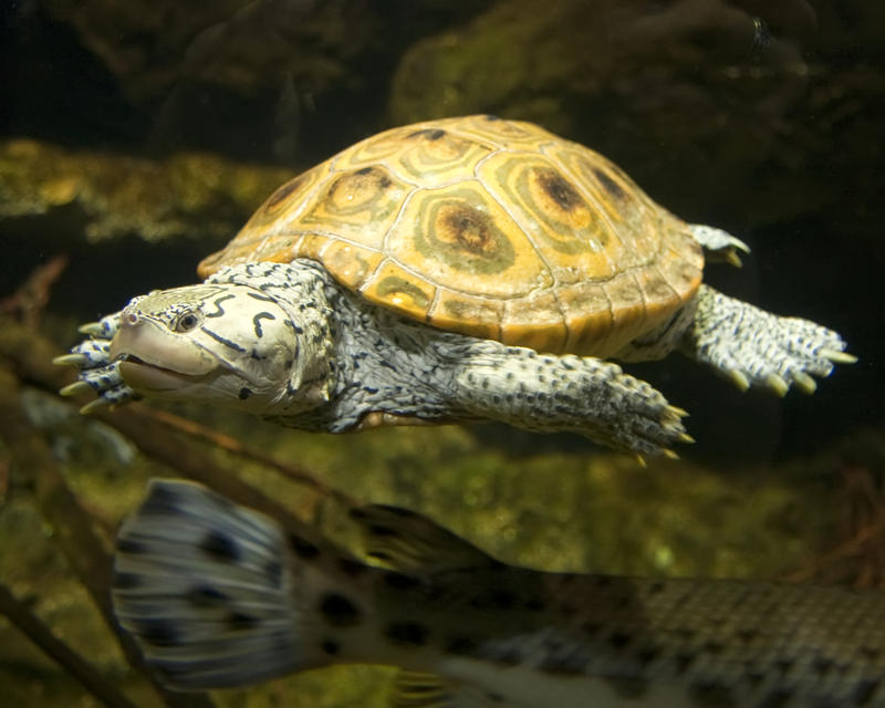 Native to brackish, coastal waters, diamondback terrapins are still kept as pets, though the historical trend of commercial harvest for meat has declined.