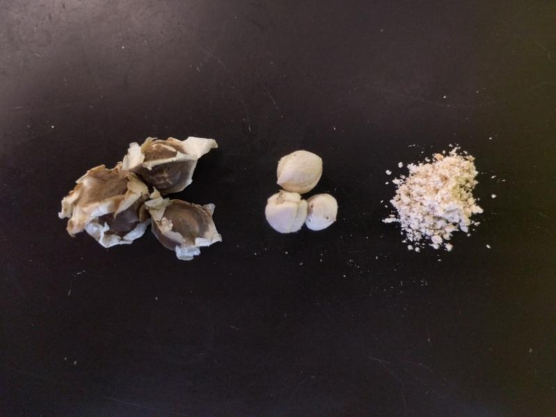 The Moringa oleifera's seed unshelled (left), shelled (middle) and crushed (right). Special proteins in the seed make it an effective water filtration system when mixed with sand.