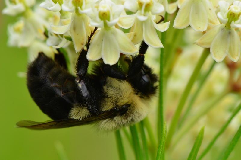A bumblebee on whorled milkweed.