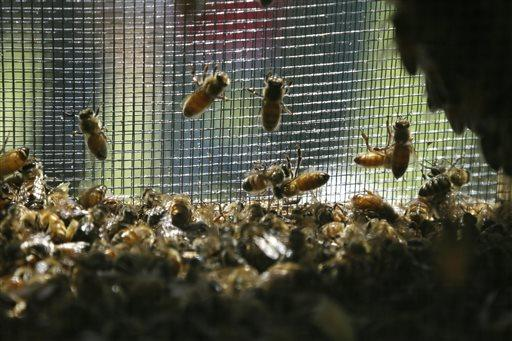 Honey bees cling to a mesh screen before being introduced into a hive.