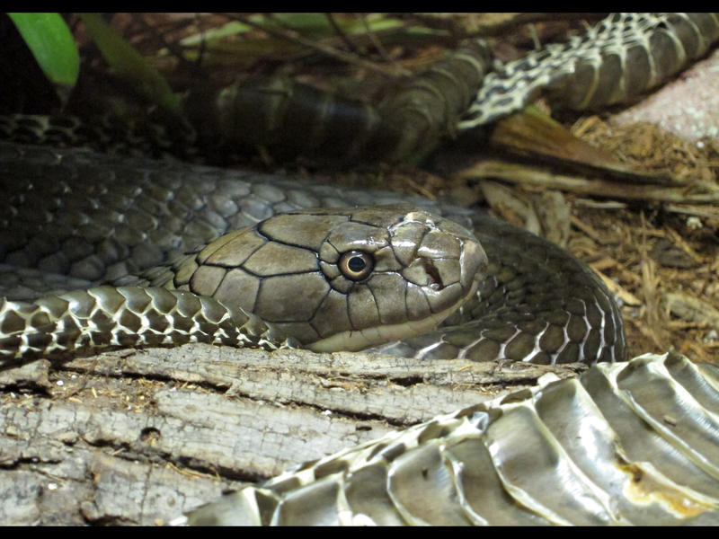 A king cobra at the Philadelphia Zoo. Three were seized during a search of a home in Allegany, N.Y.